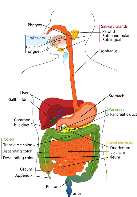 Digestive+system+function
